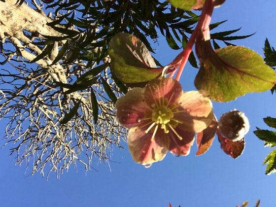 いや~いい天気ですね♪ 画像は今朝撮ったクリローちゃんなんですけど、日陰好きの植物なのになんか喜んでる感じすらあるな~、、、、w