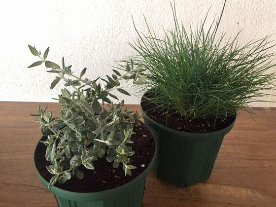 植物の師匠だと勝手に思ってるお客様からツリージャーマンダーとカッレックス系(名前を忘れてしまって、。)の植物をいただいた♪ このツリージャーマンダーが欲しかったんですよね~‼ シルバーがかった色が魅力的なんですよね♪ カレックスも庭のポイントに◎なくてはならないかと、、さすが師匠、あざーす!w