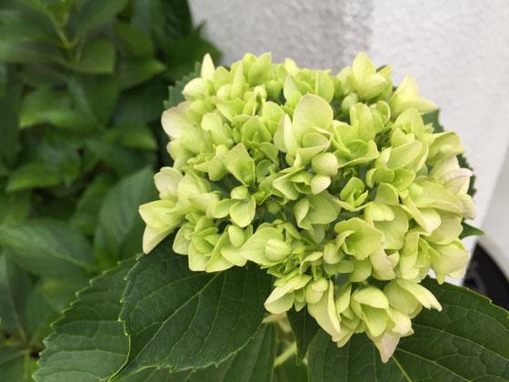 四種類のアジサイを植えてますけどホンアジサイが一番咲きした、、まだ色付いてませんが徐々に薄いブルーに変化していきます♪