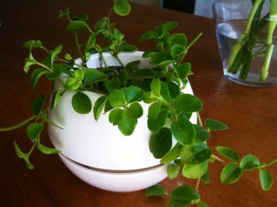 """今日は""""春分の日""""ですね、、「自然をたたえ、生物をいつくしむ。」と今日のGoogleの壁紙をクリックすると書いてありましたw 皆さんはどうですかね? *これは前に西島園芸団地で購入した植物、、で心撃ち抜かれたのは植物よかポットの方でしてwww 球体って珍しいでしょ~、、モダンと言うかレトロでいけてます♪ 植物込みで200円也 気になる方急げ!w *僕も後二鉢くらい買っとこかな?"""