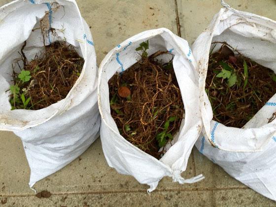 """袋の中身、、枝や枯れた雑草じゃありません。 雑草の""""根""""なんです! 一ヶ月前に根こそぎいっちゃったのに、、少しでも根が残ると芽が出てくるんですね~マジ勉強になりましたw 特にドクダミとスギナは凄い生命力ですね~、、、とりあえず取れるだけとってラウンドアップまいておきましたけどいつになったら芝が張れんのかな? *あっ、結局グランドカバーは芝にしますw"""