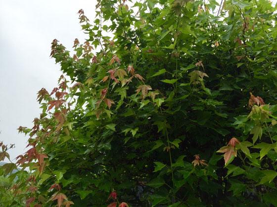 フウの木、、うちの庭の番長ですw で番長の勢い(新緑)が止まらない! 春に向けて冬の間に剪定しておいたんですけど、まだまだ初心者のガーデナーなもんでこんなに伸びると思わなくて、、、(汗) 来年はカッコいい「フウ」に仕立てたいなと♪