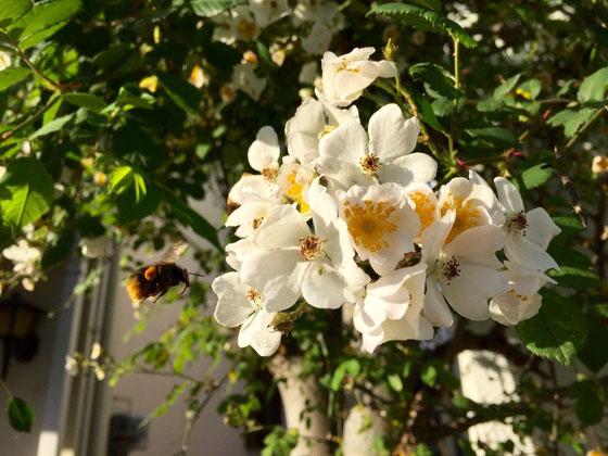 マルハナバチが蜜を吸いに来てました♪ 去年は、カイガラムシ、イラガ、アブラムシと沢山の訪問者が訪れちゃって、、で、駆除剤を散布しすぎて全ての葉が落ちてしまうという、、、(汗) 一時はバラ全体を枯らしてしまったんじゃないかと心配してたんですけど、ケアが効いたのか、今年は葉も沢山付けてくれたし花も咲いてくれたんでほんとよかった~♡  今は、まだ五分咲き程度ですけど満開が楽しみ♪