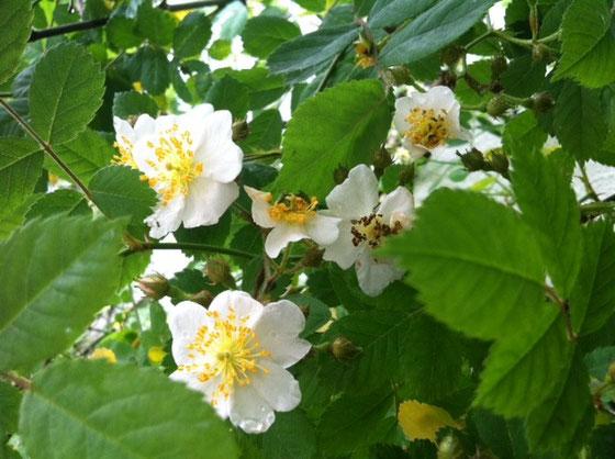 バラ的バラの容姿じゃない野バラ、、素朴で良いです♪ 花の後に出来る実が超いい感じなんですよね~♪