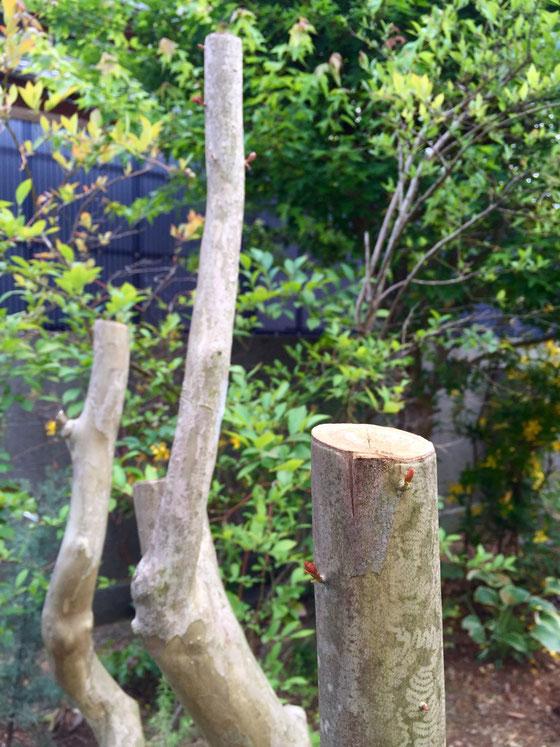 サルスベリ、、3m位に成長してたんですけど、低く仕立てたくて1.5m付近でカット、、そのまま枯れていかないかと心配してたけど、伐ってから一ヶ月が経ち幹から新しい芽がでてきました♪  来年は花を付けてくれるといいんだけど。。。