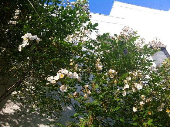 野バラが咲きだした、、まだ三分咲きほどなんで満開が楽しみ♪