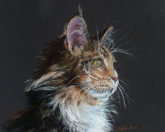 Maine Coon, Pastell