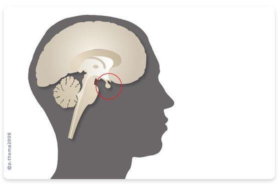 Die Lage der Hirnanhangsdrüse, Hypophyse, die auch die Schilddrüse steuert