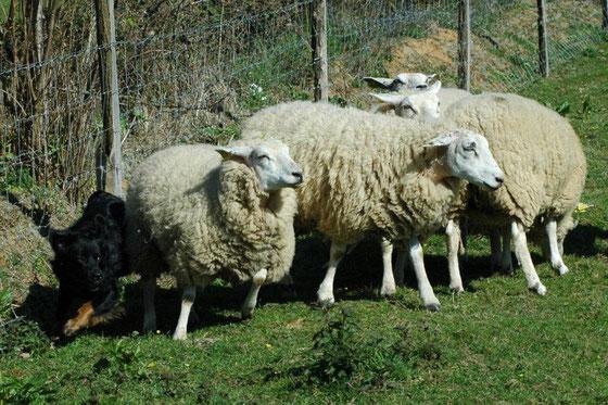 Flash sur troupeau ovins
