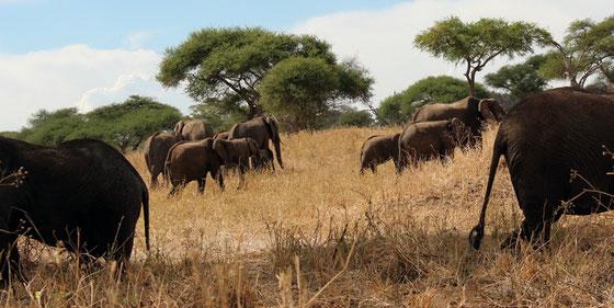 Le parc du Tarangire : parc des éléphants et des baobabs