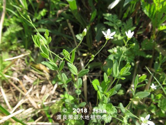渡良瀬遊水地に生育するオオヤマフスマの全体画像と説明文書