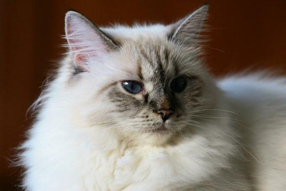 gatto siberiano ,gatti siberiani, allevamento, gatti, cuccioli, siberiani, siberiano,