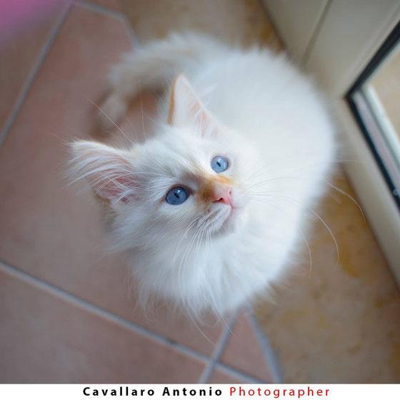 gatto siberiano gatti siberiani, allevamento, gatti, cuccioli, siberiani, siberiano,