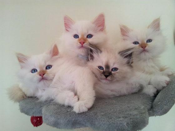 cuccioli gatto siberiano,gatti siberiani, allevamento, gatti, cuccioli, siberiani, siberiano,