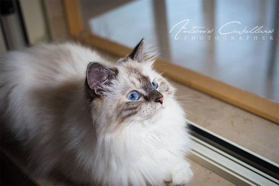 gatti siberiani, allevamento, gatti, cuccioli, siberiani, siberiano,