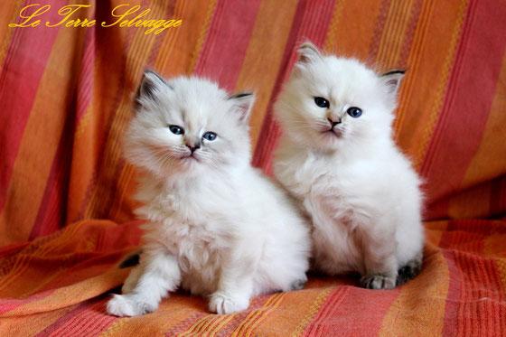 gattini siberiani,gatti siberiani, allevamento, gatti, cuccioli, siberiani, siberiano,