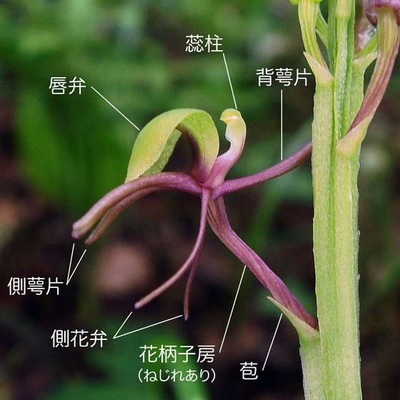 シテンクモキリの花の構造 - 側面(背萼片、側花弁、側萼片、唇弁、蕊柱、花柄子房)