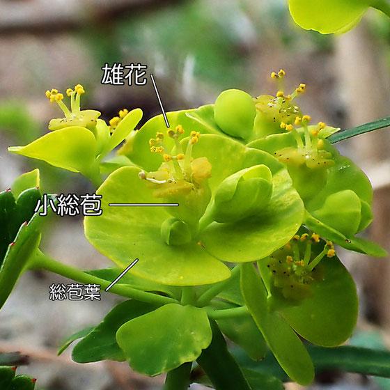 ハギクソウの花の構造−4(雄花、小総苞、総苞葉)