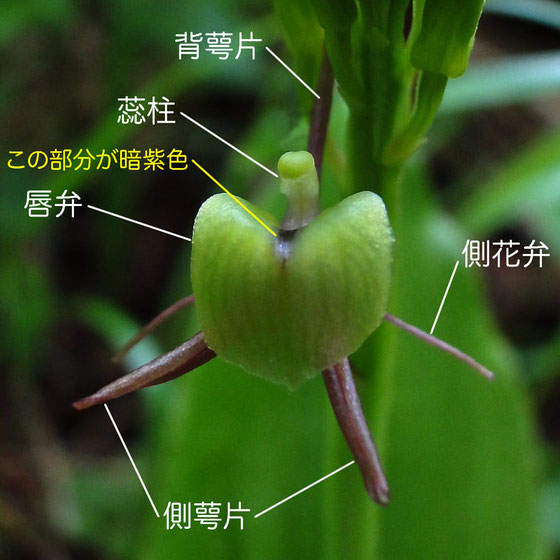 シテンクモキリの花の構造 - 正面(背萼片、側花弁、側萼片、唇弁、蕊柱)