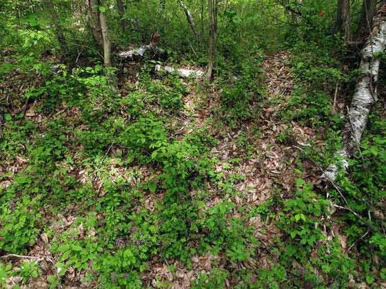 ナンブワチガイソウ自生地  前回群生していた場所は激減、ほとんど姿が見られない。 2012.05.26 八ヶ岳山麓