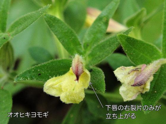 オオヒキヨモギの花