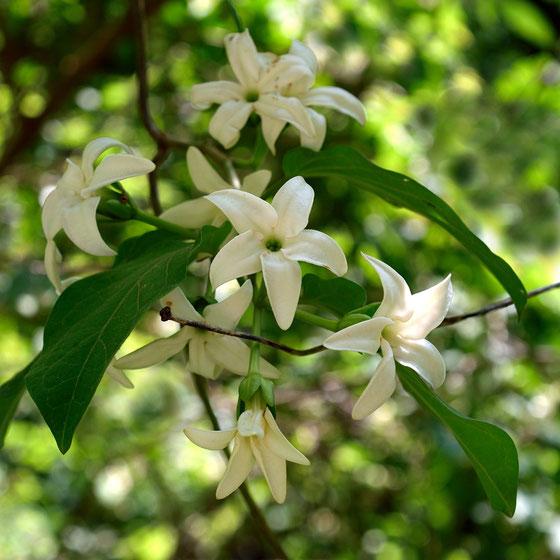 シタキソウは、暖地の海岸近くの山林内に生える蔓性の植物