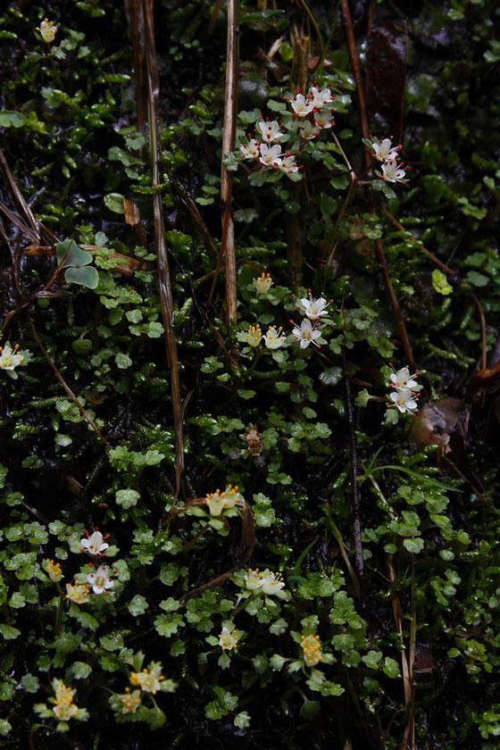 ハナネコノメ  2014.04.19 長野県(この項目の写真すべて) alt=910m