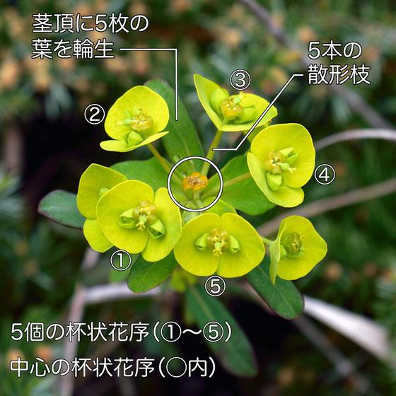 ハギクソウの花の構造−1(杯状花序、散形枝)