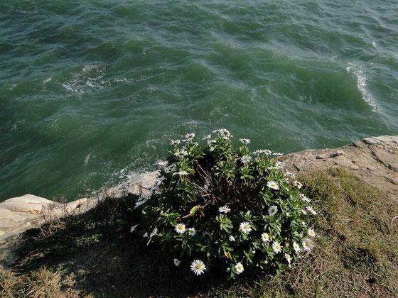 ハマギク  本当に断崖絶壁の上なのだ     2010.11.06 茨城県