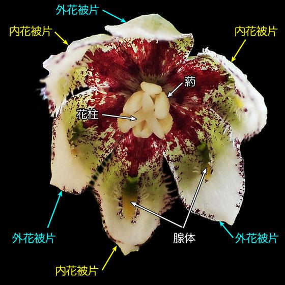 #11 コシノコバイモの花のつくり(外花被片、内花被片、腺体、花柱、葯)