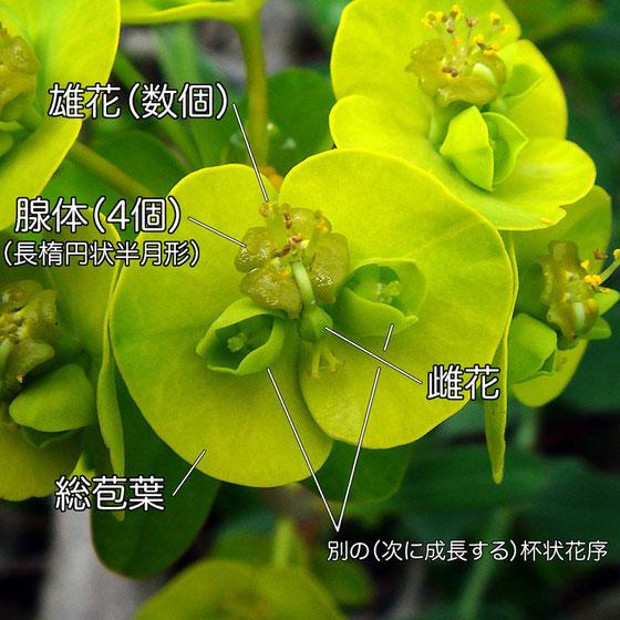 ハギクソウの花の構造−2(雄花、雌花、腺体、総苞葉、杯状花序)
