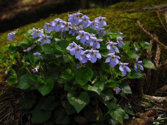 タチツボスミレ  大きな岩の上に咲いていました。