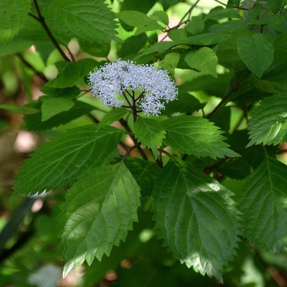 コアジサイには、アジサイ属の特徴的な装飾花はなく、すべて普通花。