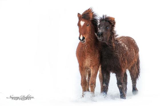 Islandpferdezucht, Fohlen, Hengste, Islandpferde reiten München, Reitschule, Reitbeteiligung, Norwegische Waldkatzenzucht Bayern