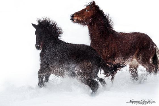 Zucht von Islandpferden, Hobbyzucht, Falbe, Fohlenaufzucht, verkaufen Isländer und Norwegische Waldkatzen, Katzenzucht