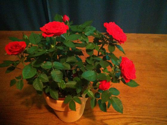母の日は実家に帰っていたから我が家は、一日遅れでの母の日をした、。 当たり前だけど母の日=奥さんとはならないけど、哲平にしたら100%お母さんなんですよねw で今年は哲平セレクトのミニ薔薇♪ 「ちゃ~ちゃん泣くかな~?」って言ってたけど、ぜんぜんでしたw ドライアイでしょうか?w