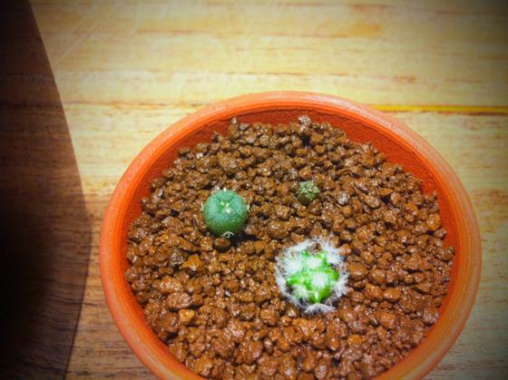「こちらは哲平くんに!」とベビーサボの三種盛りもいただいた♪ コレ種から発芽させてるんですよ!ゴイスーでしょ~! 191さんいつもありがとうございます。