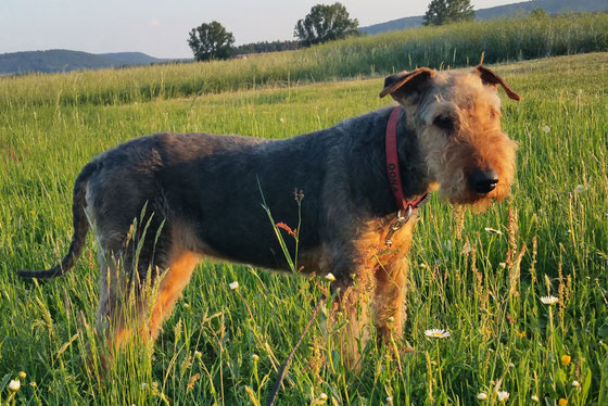 Oona auf ihrer Hundewiese
