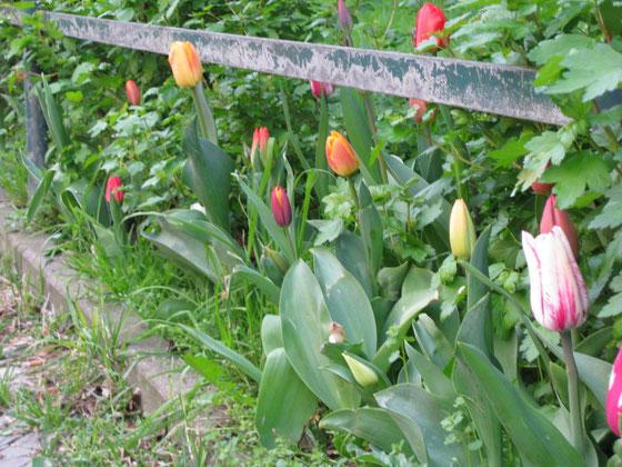 Schon im Oktober waren wir fleißig, jetzt sind unsere 200 Tulpen da!