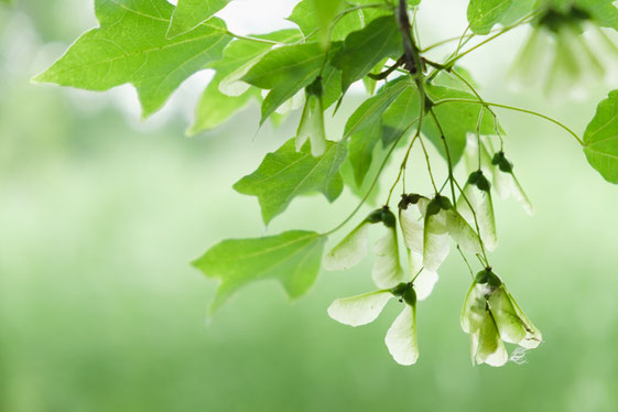 トウカエデの大きな葉と、翼の形をした翼果
