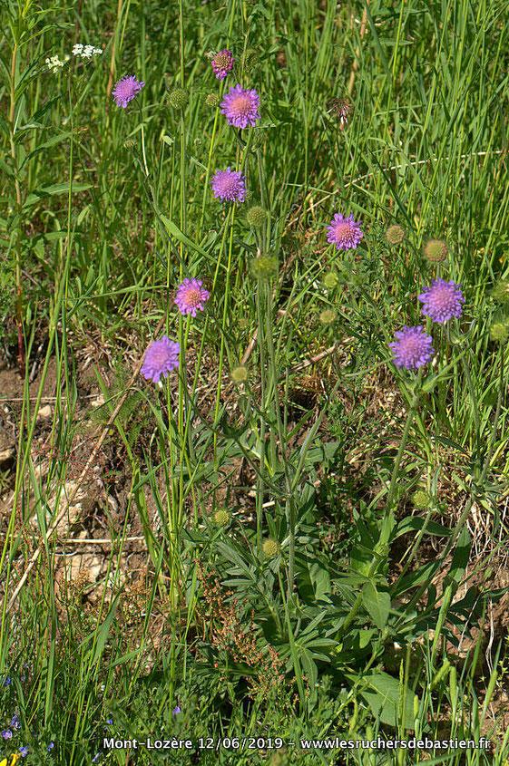 Knautia arvensis, Cévennes, Mont-Lozère