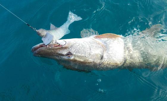 starker Freiwasserhecht attackiert den Swimbait von www.hechtguide.com
