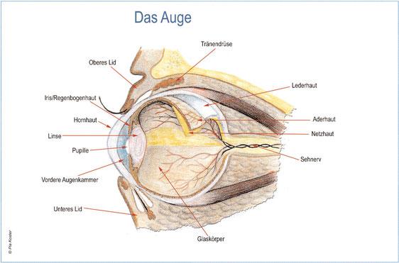 Niedlich Anatomie Der Hunde Auge Ideen - Anatomie Von Menschlichen ...