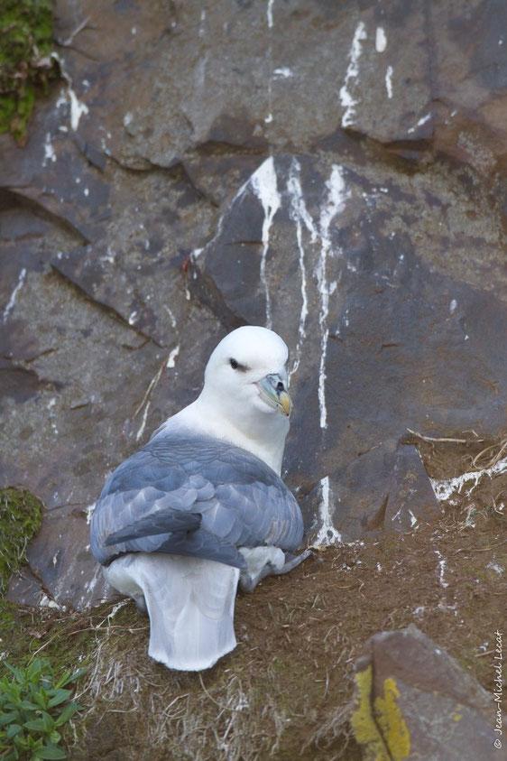 Fulmar boréal, Fulmarus glacialis
