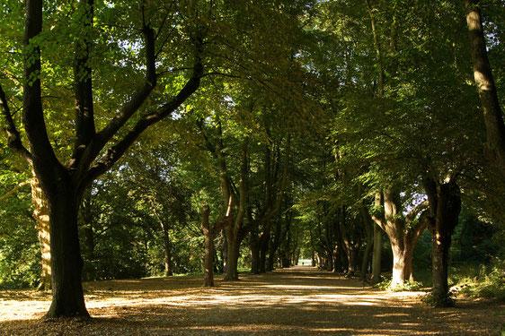 Schattige  Allee im Rombergpark