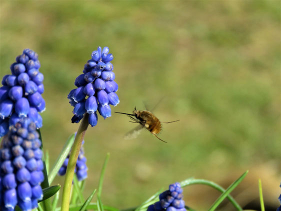 Bombylius major an Muscari