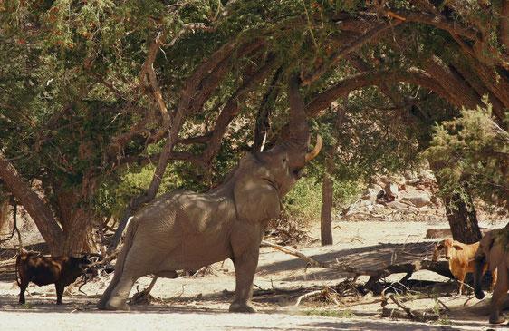 Elefanten reduzieren Sträucher und kleine Bäume effektiver als jede Maschine  - Foto copyright: P. Ludwig-Sidow
