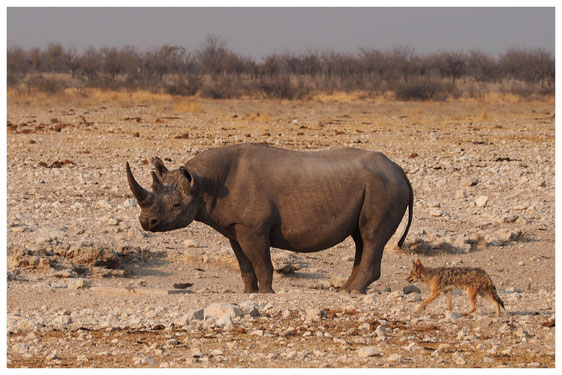 Rhinocéros noir de Namibie