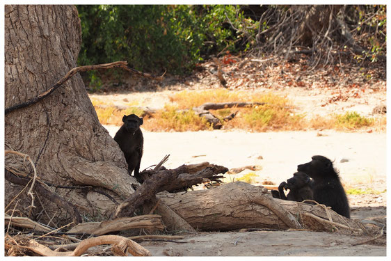Babouin chacma de Namibie