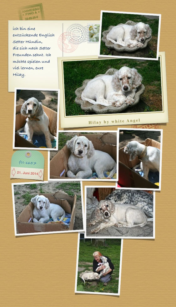 English Setter Hilay by white Angel www.angel-setter.de